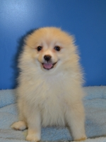 Preston - Pomeranian
