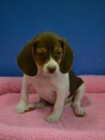 Daisy - Beagle
