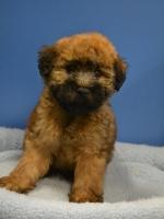 Einstein - Soft Coated Wheaten Terrier